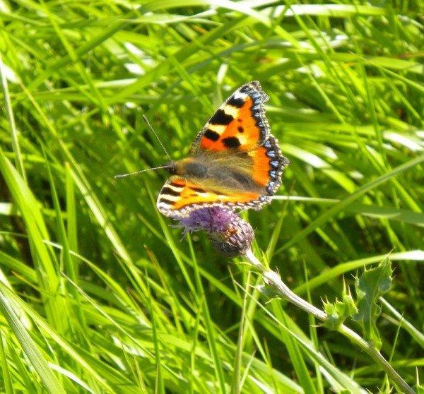 orange butterfly in grass