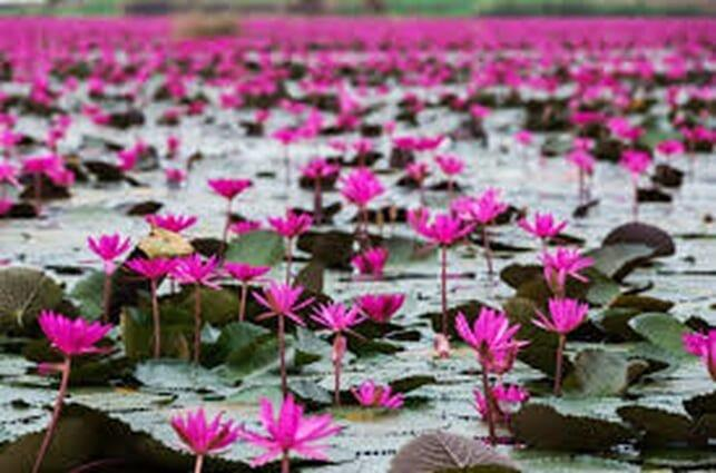 a pond with lotus